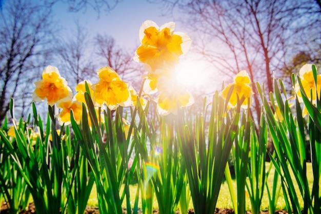オランダの庭園で黄色い水仙