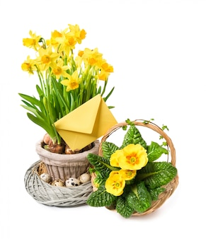 Yellow daffodils and primrose on white, happy easter!
