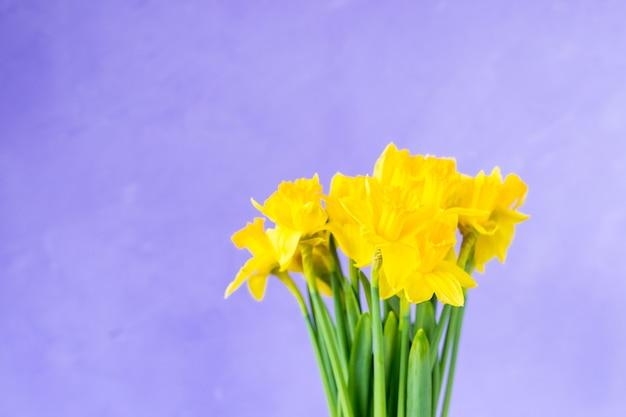 Yellow daffodils on purple violet background.