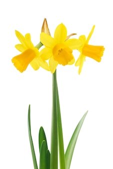 Yellow daffodils with green leaves