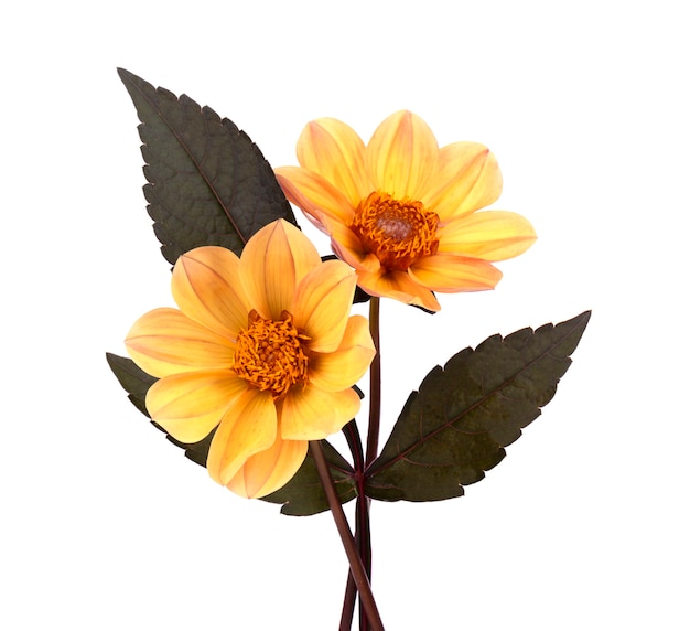 Yellow dahlia flower with leaves isolated on white