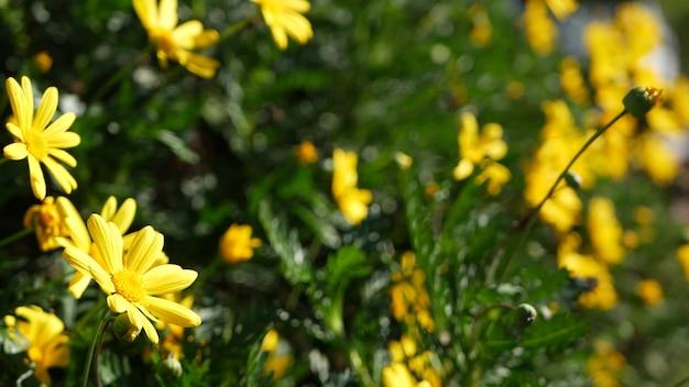Цветок желтой маргаритки, домашнее садоводство в калифорнии, сша. естественный ботанический конец вверх фон. euryops pectinatus цветут весной в свежем саду. весенняя флора, куст сложноцветных в мягком фокусе.