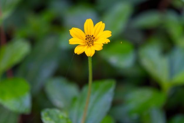Yellow daisy flower in garden.