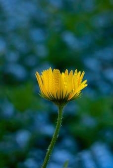 녹색 자연 흐릿한 배경에 노란색 데이지 꽃입니다.
