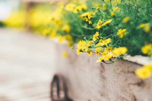 Yellow daisy flowers background.