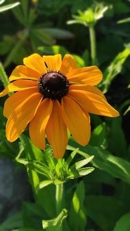 Желтый цветок герберы маргаритки на естественном зеленом фоне в саду.