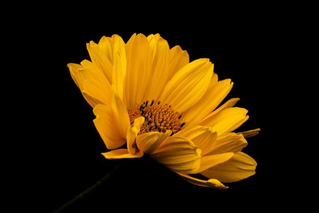 Гербера желтая ромашка или цветок рудбекии на черном фоне. плакат.