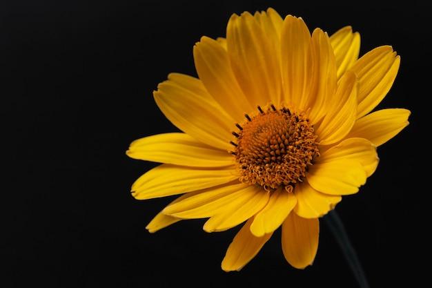 黒の背景に黄色のデイジーガーベラまたはルドベキアの花