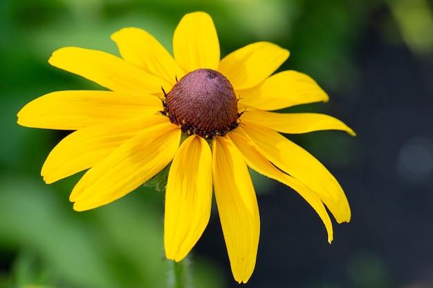 庭の自然な緑の背景に黄色のデイジーガーベラまたはルドベキアの花。