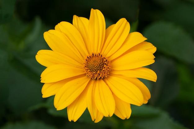 Гербера желтая ромашка или цветок рудбекии на естественном зеленом фоне в саду.