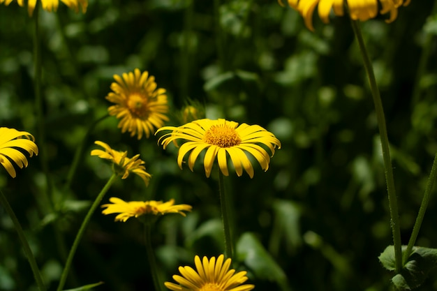 Желтая ромашка в саду среди зелени