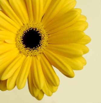 Yellow daisy on a light background, close-up