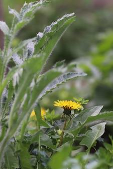 Желтый одуванчик среди зеленых листьев и растений в летний солнечный день