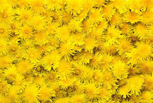 黄色のタンポポの背景