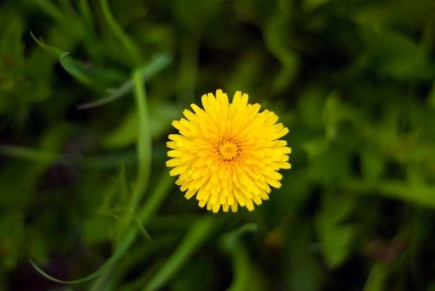 흐린 잔디 배경에 노란 민들레 꽃 근접 촬영