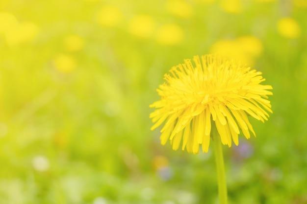 스프링 필드에 노란 민들레 꽃이 자랍니다