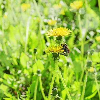 Желтый цветок одуванчика с шмелем в природе