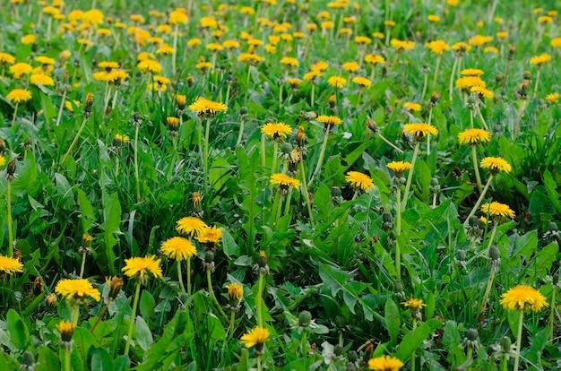 Желтые цветы одуванчика на весеннем лугу
