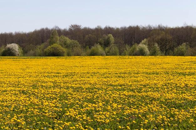 Желтые цветы одуванчика летом