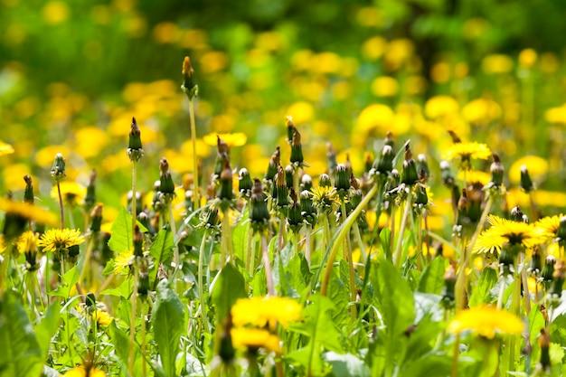 クリアリング、クローズアップ、詳細の春の公園の緑の草の背景に黄色のタンポポの花