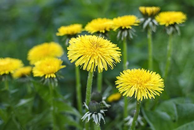 緑の草の背景に黄色いタンポポの花