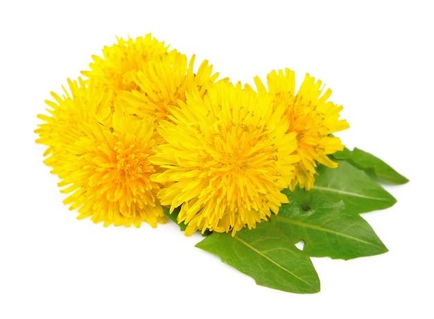 Желтые цветы одуванчика с листьями на белом