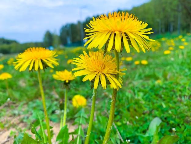 Желтые цветы одуванчика
