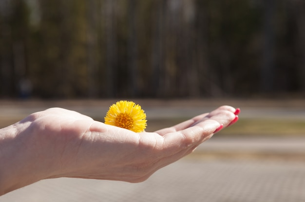 Yellow dandelion in the hand of a young girl