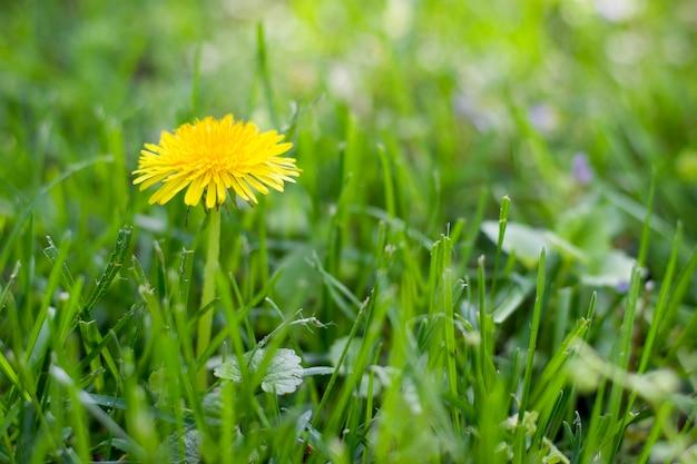 緑の草の黄色いタンポポ