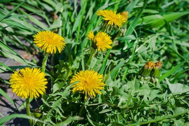 春の黄色いタンポポ。薬草のクローズアップ