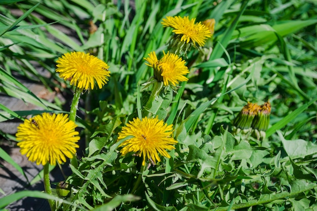 Yellow dandelion in spring. medicinal herb close up