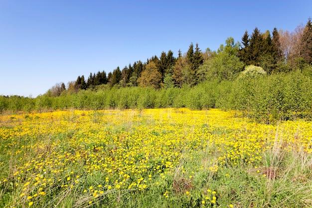 黄色いタンポポ-春のシーズンに撮影された多数の黄色いタンポポ