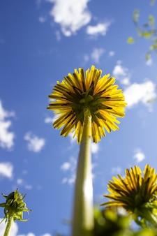 Желтые одуванчики на фоне голубого неба.