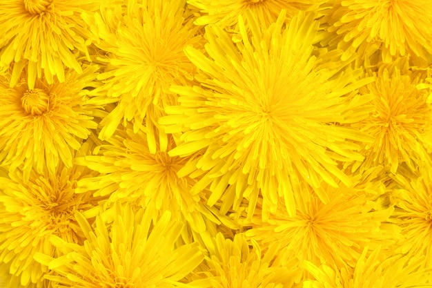 Yellow dandelions close-up, background, texture