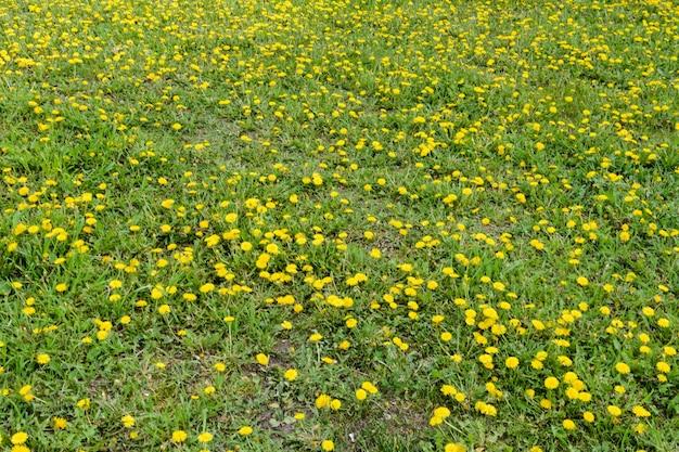 노란 민들레 필드입니다. 녹색 봄 초원의 배경에 밝은 꽃 민들레.