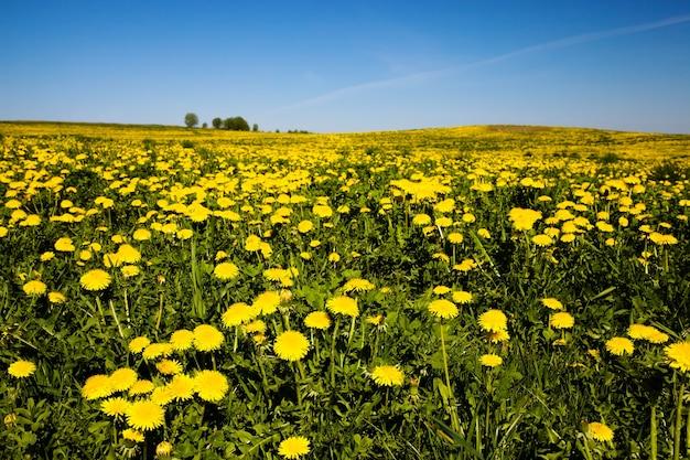 Желтые одуванчики, растущие весной