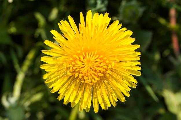 夏の黄色いタンポポ