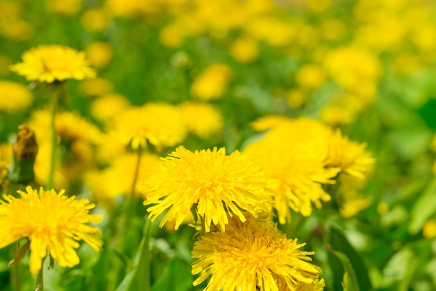 夏の緑の野原のクローズアップに黄色のタンポポ
