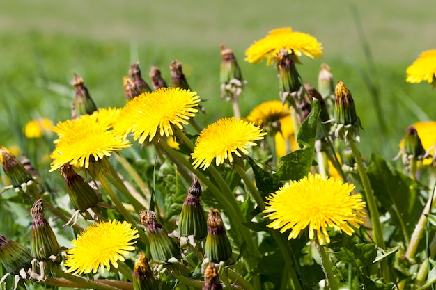 暖かい夏や春の天候、クローズアップで開いた花びらを持つ黄色のタンポポ