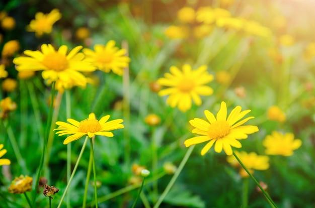 Yellow dasie flower with green leaf background