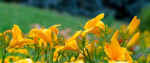 黄色の日ユリまたはhemerocallis