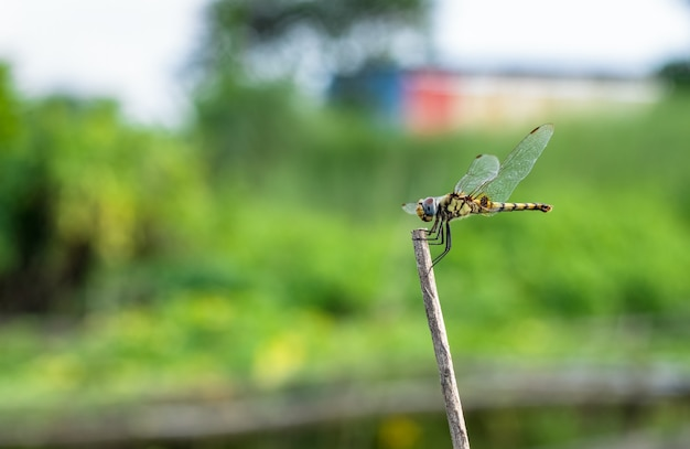 Yellow dragonfly with black marks on the body resting on a dead tree branch