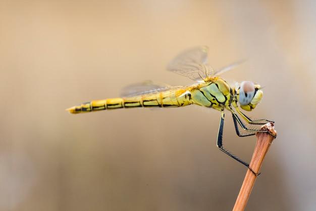 Желтая стрекоза