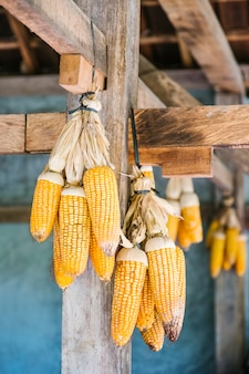 Yellow dry corn hanging