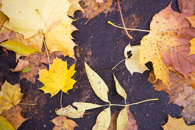 Yellow dry fallen leaves on the asphalt. autumn background, natural pattern