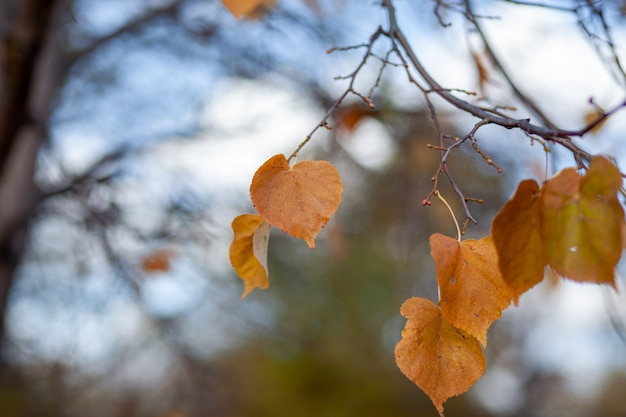 Yellow or dry leaves on tree branches in autumn. leaves of birch, linden and other trees on the branches. there is an empty space for the text