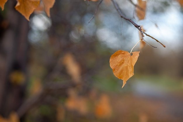 Yellow or dry leaves on tree branches in autumn leaves of birch linden