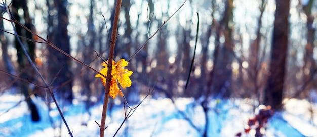 Желтый сухой кленовый лист на дереве в зимнем лесу в солнечную погоду. солнечный день в зимнем лесу