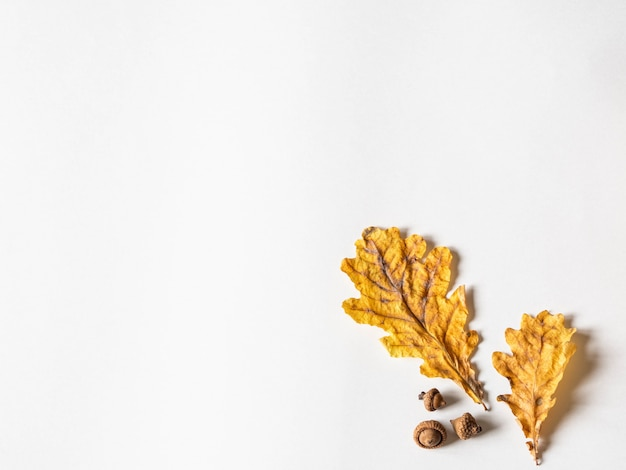 Yellow dry oak leaves and acorns on  white background. copy space