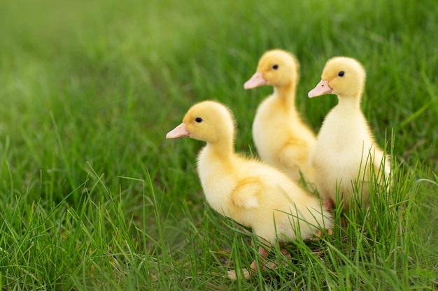 Yellow ducklings in the grass